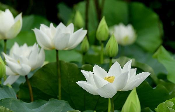 cach trong hoa sen trang don gian ma hieu qua, chac chan ra hoa - 3