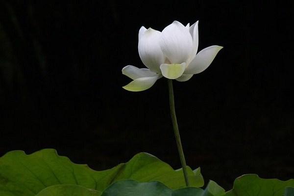 cach trong hoa sen trang don gian ma hieu qua, chac chan ra hoa - 5