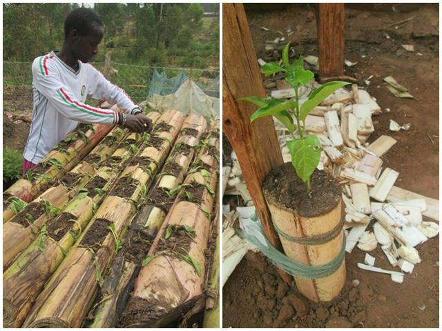 Học người nước ngoài trồng rau trên thân chuối, tiết kiệm diện tích, rau lớn ầm ầm