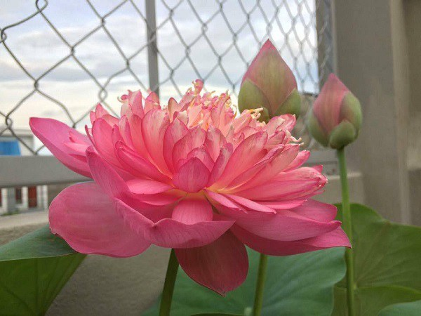 cach trong va cham soc hoa sen dep quanh nam - 6