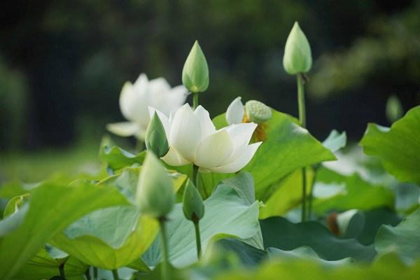 cach trong va cham soc hoa sen dep quanh nam - 3