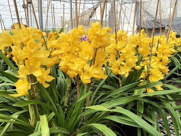 Địa lan: phân loại, kỹ thuật trồng và chăm sóc mau ra hoa-1