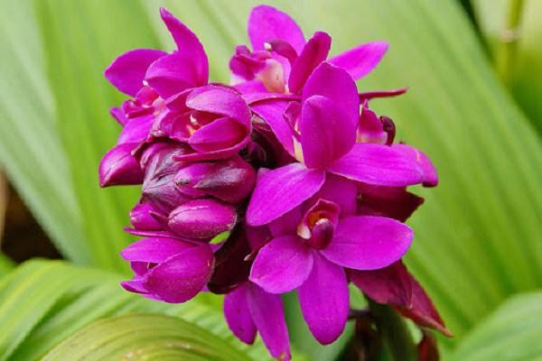 Địa lan: phân loại, kỹ thuật trồng và chăm sóc mau ra hoa-2