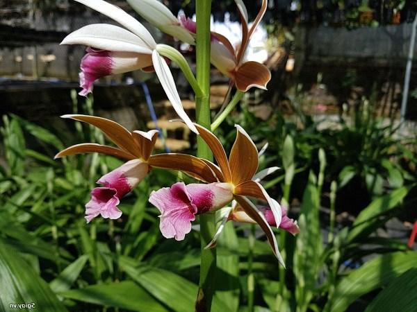 Địa lan: phân loại, kỹ thuật trồng và chăm sóc mau ra hoa-3