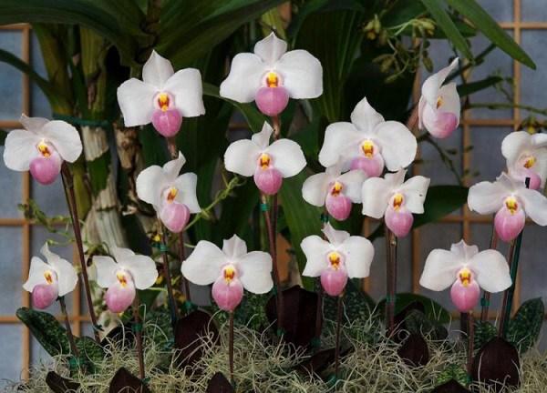 Địa lan: phân loại, kỹ thuật trồng và chăm sóc mau ra hoa-4