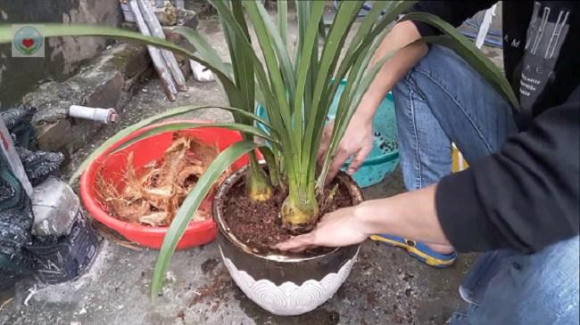 Địa lan: phân loại, kỹ thuật trồng và chăm sóc mau ra hoa-8