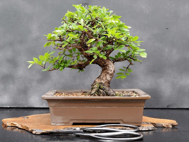 Phân loại và chăm sóc các loại cây cảnh bonsai đơn giản tại nhà