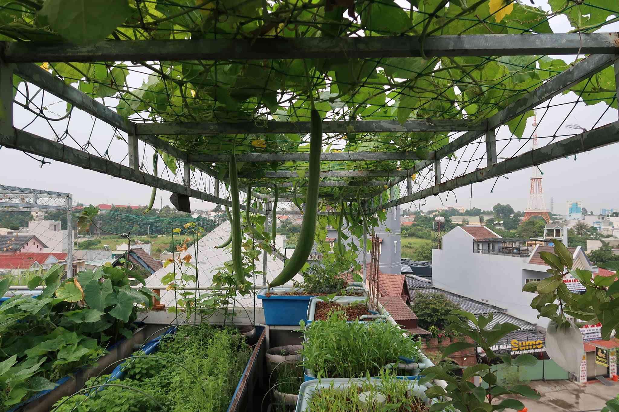 Chán việc văn phòng về trồng vườn rau trên sân thượng, vạn người mê - 3