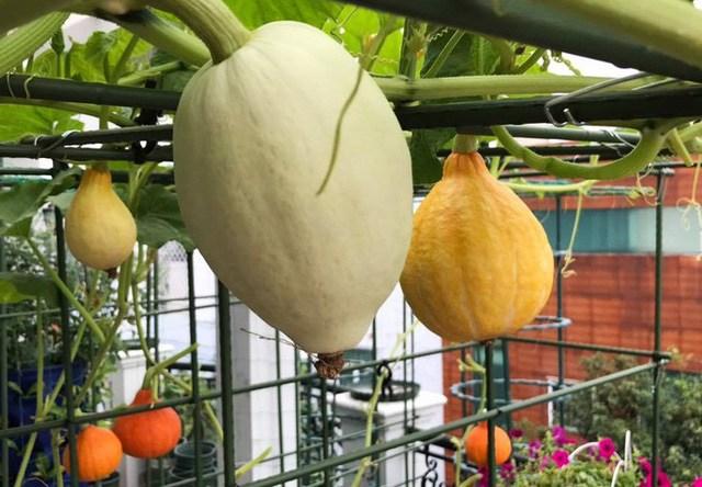 Mẹ đảm Sài Gòn trồng rau sân thượng tốt um như... rau quả amp;#34;đột biếnamp;#34; - 3