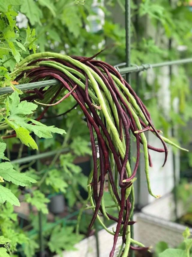 Mẹ đảm Sài Gòn trồng rau sân thượng tốt um như... rau quả amp;#34;đột biếnamp;#34; - 9