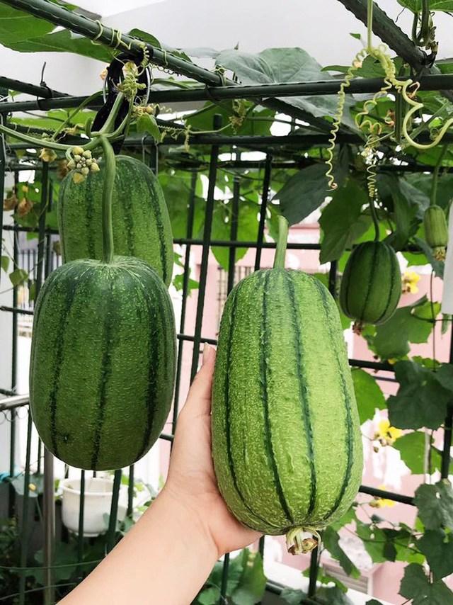 Mẹ đảm Sài Gòn trồng rau sân thượng tốt um như... rau quả amp;#34;đột biếnamp;#34; - 10