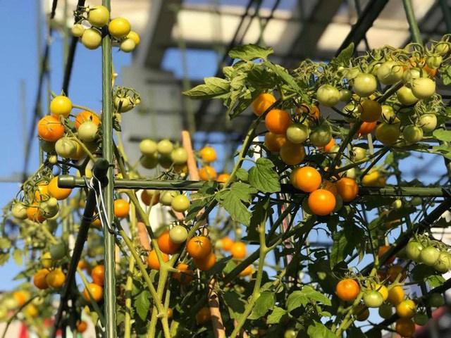 Mẹ đảm Sài Gòn trồng rau sân thượng tốt um như... rau quả amp;#34;đột biếnamp;#34; - 11