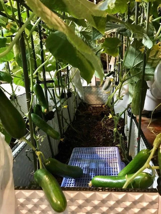 Mẹ đảm Sài Gòn trồng rau sân thượng tốt um như... rau quả amp;#34;đột biếnamp;#34; - 12
