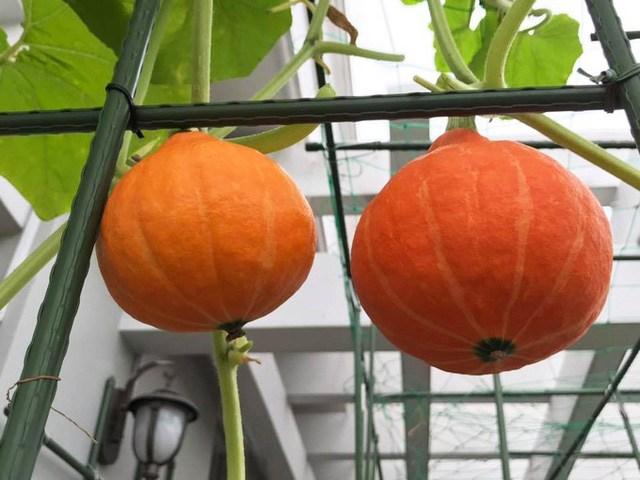 Mẹ đảm Sài Gòn trồng rau sân thượng tốt um như... rau quả amp;#34;đột biếnamp;#34; - 14
