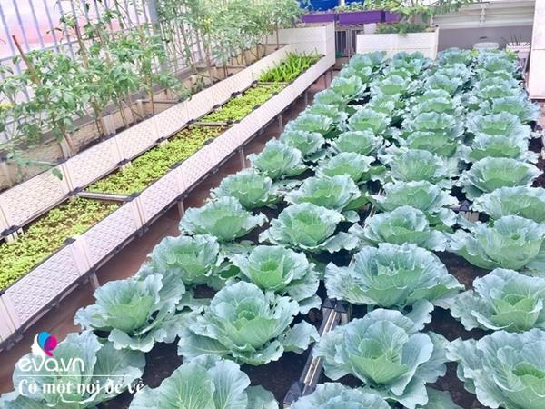 Bố Hà Nội vác 5 tấn đất lên sân thượng trồng rau, phun amp;#34;nước thầnamp;#34; cây tốt ngồn ngộn - 7