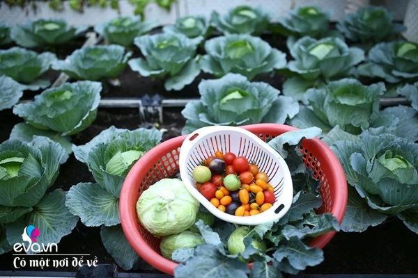 Bố Hà Nội vác 5 tấn đất lên sân thượng trồng rau, phun amp;#34;nước thầnamp;#34; cây tốt ngồn ngộn - 4
