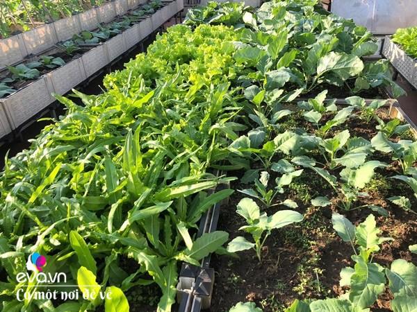 Bố Hà Nội vác 5 tấn đất lên sân thượng trồng rau, phun amp;#34;nước thầnamp;#34; cây tốt ngồn ngộn - 8