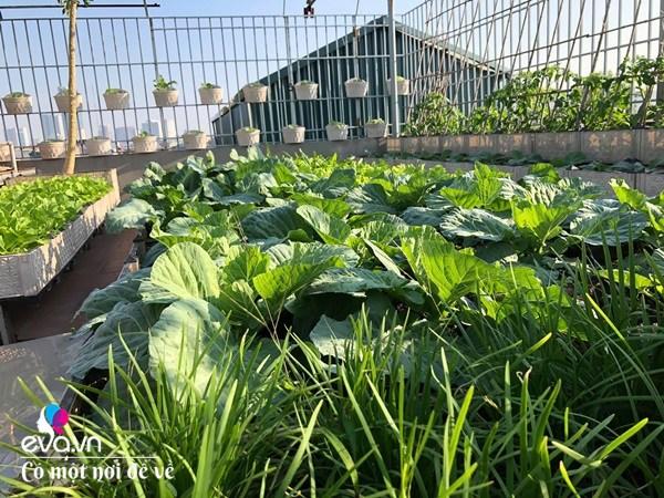 Bố Hà Nội vác 5 tấn đất lên sân thượng trồng rau, phun amp;#34;nước thầnamp;#34; cây tốt ngồn ngộn - 10