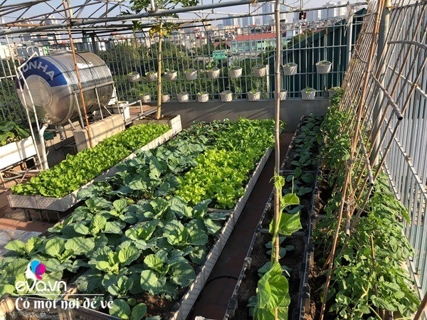 Bố Hà Nội vác 5 tấn đất lên sân thượng trồng rau, phun amp;#34;nước thầnamp;#34; cây tốt ngồn ngộn - 11