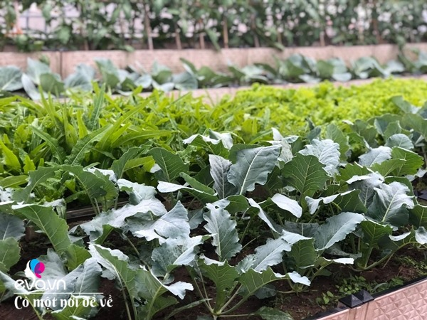 Bố Hà Nội vác 5 tấn đất lên sân thượng trồng rau, phun amp;#34;nước thầnamp;#34; cây tốt ngồn ngộn - 20