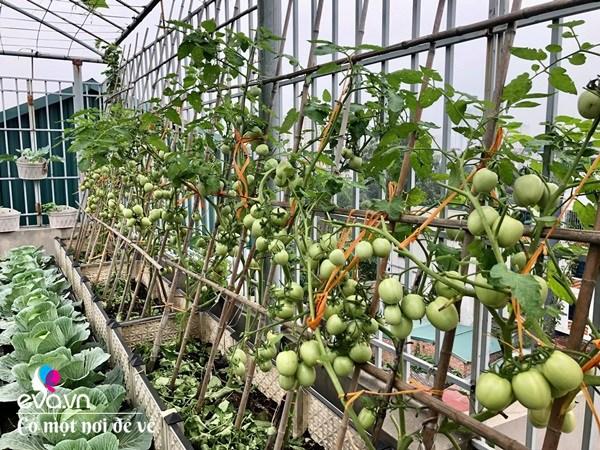 Bố Hà Nội vác 5 tấn đất lên sân thượng trồng rau, phun amp;#34;nước thầnamp;#34; cây tốt ngồn ngộn - 15