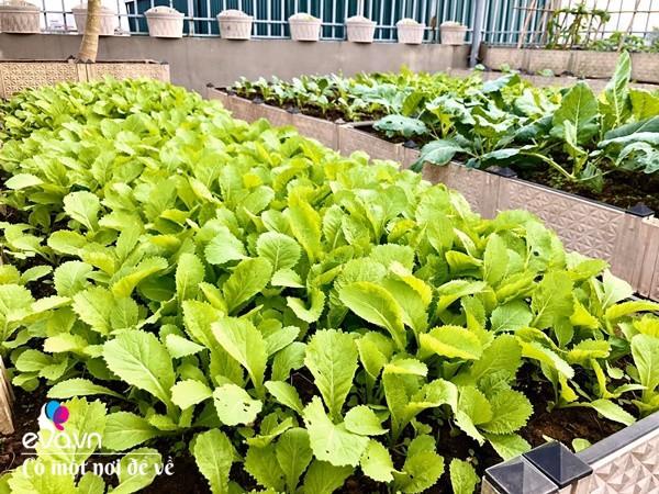 Bố Hà Nội vác 5 tấn đất lên sân thượng trồng rau, phun amp;#34;nước thầnamp;#34; cây tốt ngồn ngộn - 23