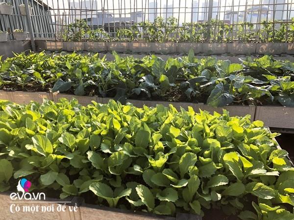 Bố Hà Nội vác 5 tấn đất lên sân thượng trồng rau, phun amp;#34;nước thầnamp;#34; cây tốt ngồn ngộn - 14
