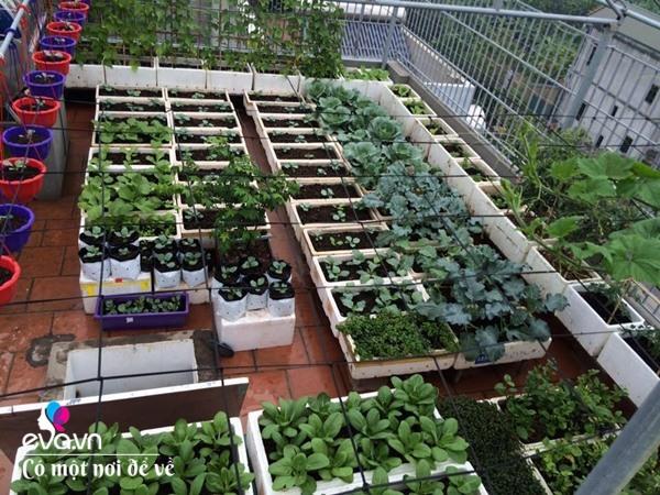 Bố Hà Nội vác 5 tấn đất lên sân thượng trồng rau, phun amp;#34;nước thầnamp;#34; cây tốt ngồn ngộn - 6