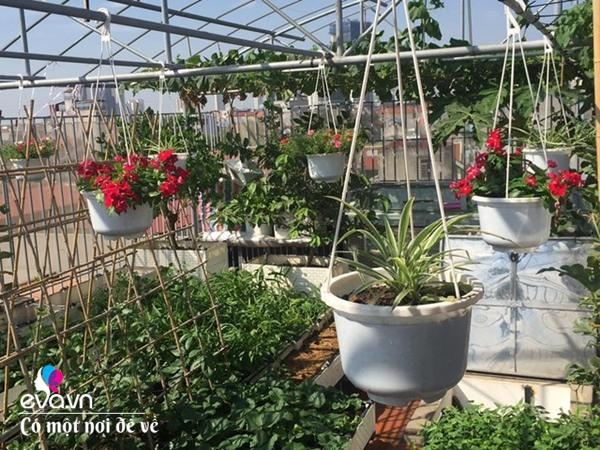 Bố Hà Nội vác 5 tấn đất lên sân thượng trồng rau, phun amp;#34;nước thầnamp;#34; cây tốt ngồn ngộn - 24