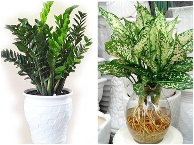 5 loại cây ăn tiền thiên hạ, sáng đặt phòng khách chiều gặp may
