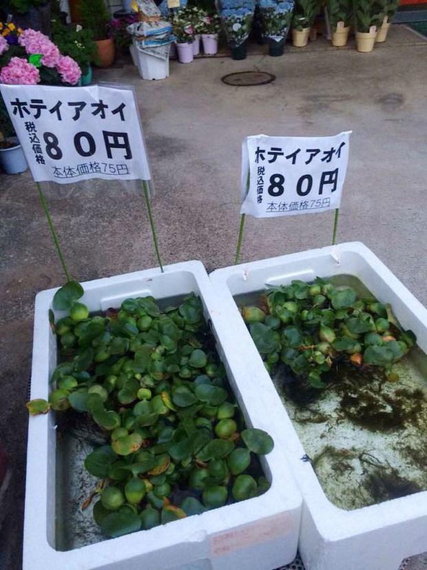 5 loại cây mọc dại ở Việt Nam nhưng lại được săn lùng, có giá cực đắt ở nước ngoài - 5