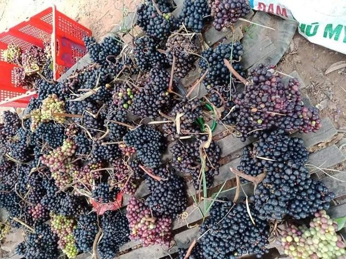 Bất ngờ loại quả mọc hoang trên rừng được lùng mua dù giá đắt hơn nho Mỹ