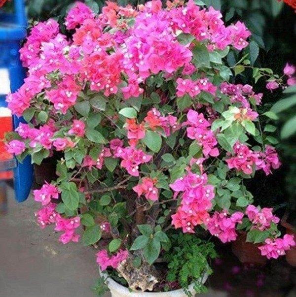 Loại gia vị trong bếp có công dụng giúp hoa giấy không bao giờ vàng lá, nở hoa quanh năm - 1