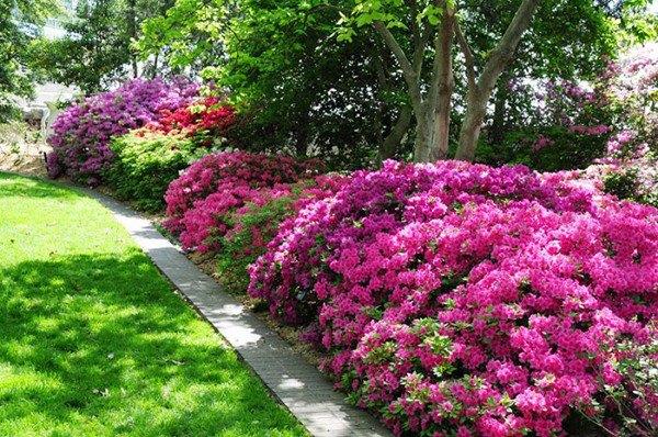 Loại gia vị trong bếp có công dụng giúp hoa giấy không bao giờ vàng lá, nở hoa quanh năm - 6