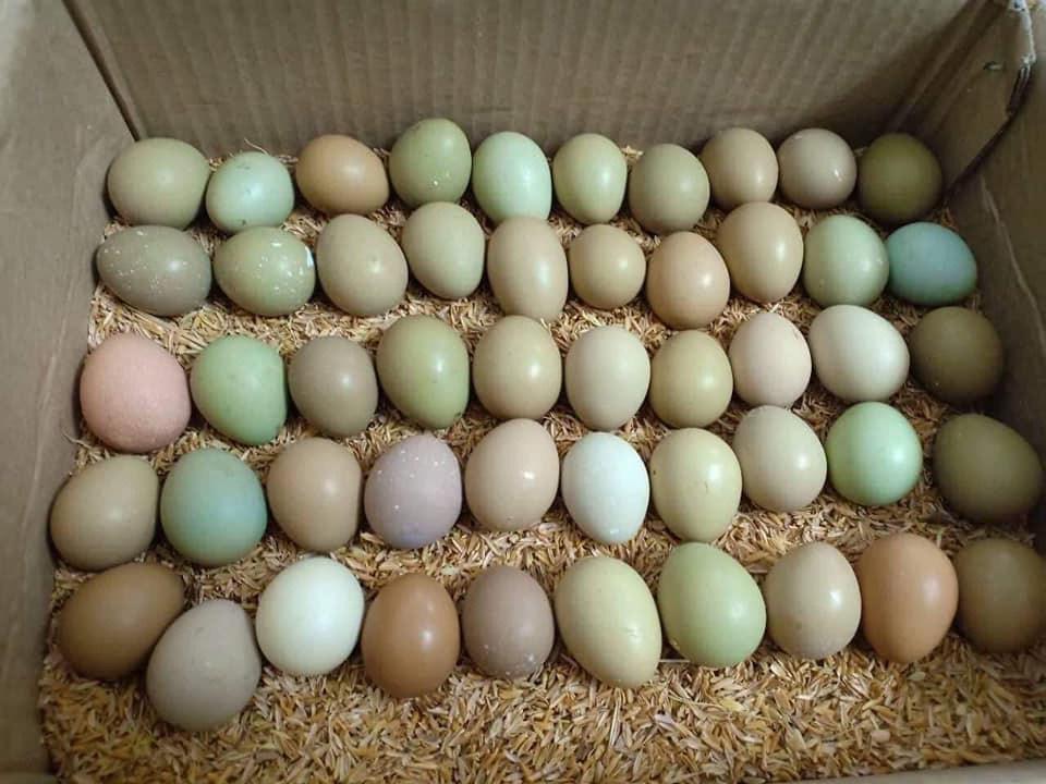 Loại trứng xanh đỏ khác thường, đắt gấp 15 lần trứng gà được bà nội trợ lùng mua - 3