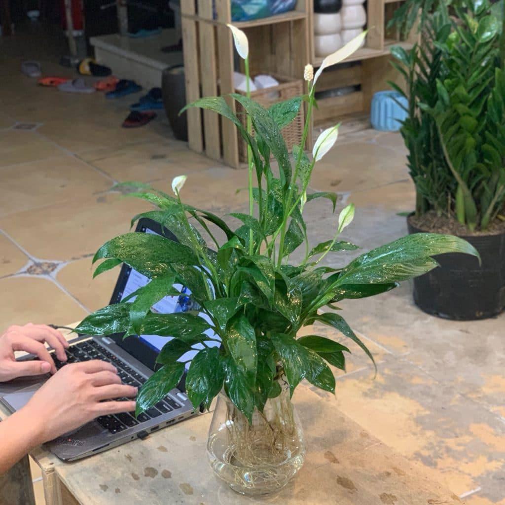 Những loại cây trừ tà khí, nên trồng trong nhà để tài vận kéo đến - ảnh 1