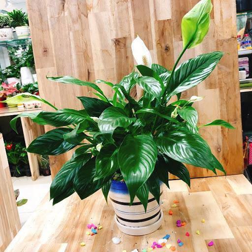 Những loại cây trừ tà khí, nên trồng trong nhà để tài vận kéo đến - ảnh 3