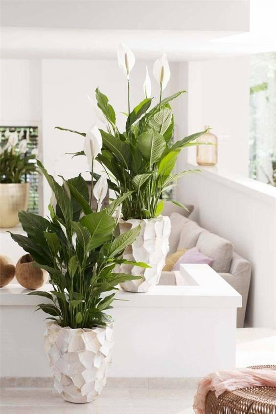 Những loại cây trừ tà khí, nên trồng trong nhà để tài vận kéo đến - ảnh 2