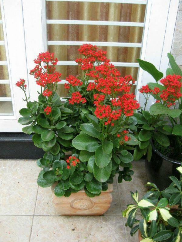 Những loại cây trừ tà khí, nên trồng trong nhà để tài vận kéo đến - ảnh 5
