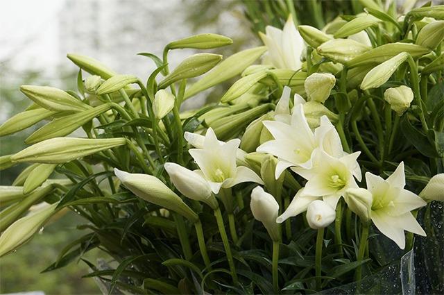 Những loại hoa càng đẹp càng độc, có 1 loại ở Việt Nam rất phổ biến - 7