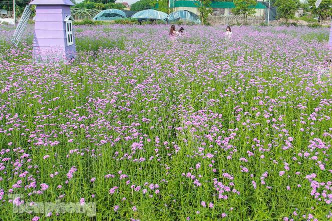Thảm hoa tím lãng mạn ở Hà Nội hút đông đảo nữ sinh đến amp;#34;check-inamp;#34; - 1