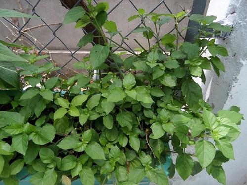 Mách chị em cách trồng rau ngót Nhật lớn siêu nhanh, non mơn mởn - 3