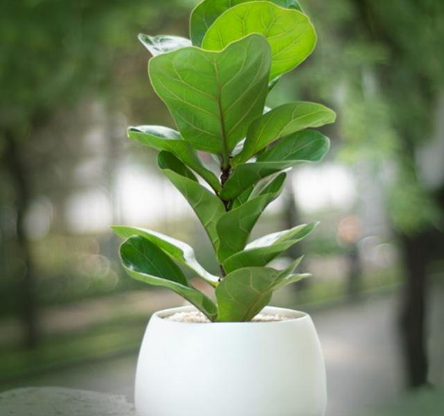 Các mẫu cây cảnh để bàn đẹp, hợp tuổi, hợp mệnh phong thủy - 20