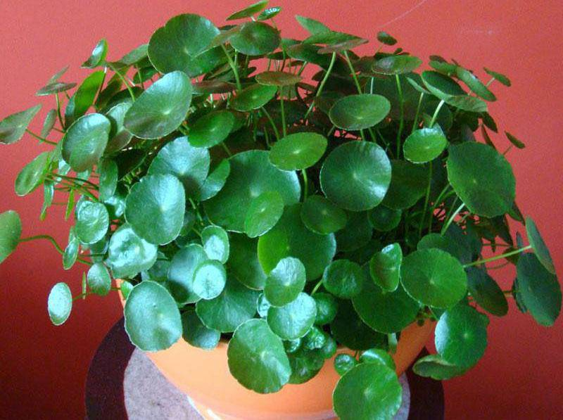 3 loài hoa thịnh vượng, điềm lành và sung túc trồng trong nhà không phải ai cũng biết - 1
