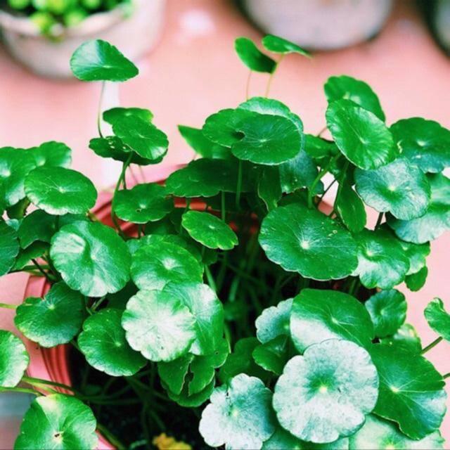 3 loài hoa thịnh vượng, điềm lành và sung túc trồng trong nhà không phải ai cũng biết - 3
