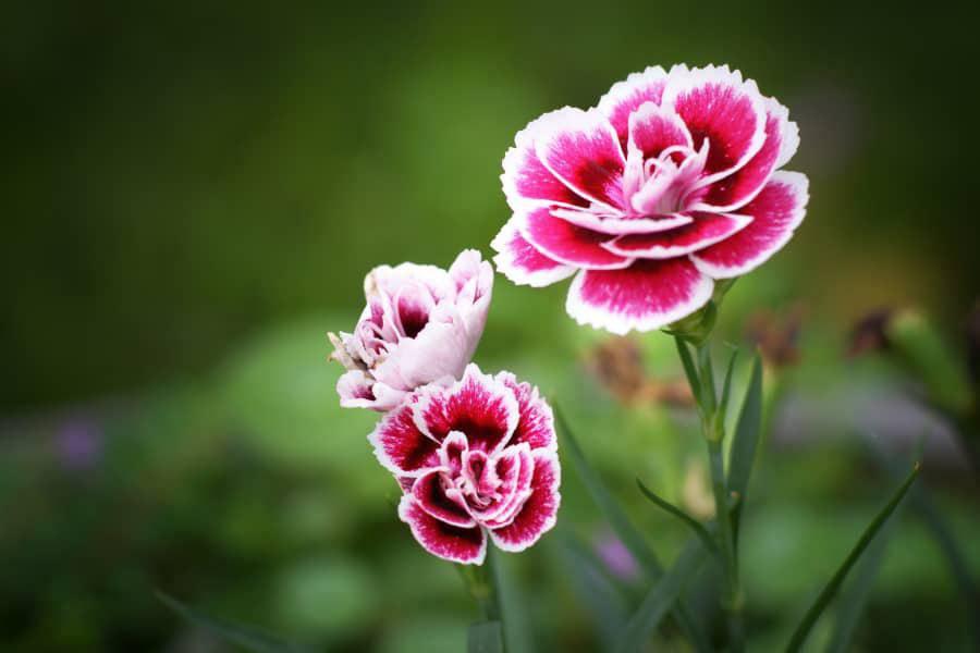 3 loài hoa thịnh vượng, điềm lành và sung túc trồng trong nhà không phải ai cũng biết - 8