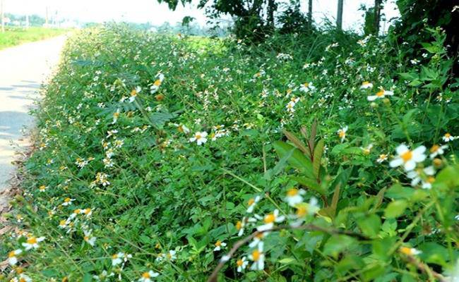 Ở Việt Nam có 5 loại hoa ăn được, giá chỉ vỏn vẹn... 0 đồng - 1