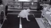 Trộm đột nhập vào cửa hàng ăn 10 quả chuối rồi nằm lăn ra ngủ