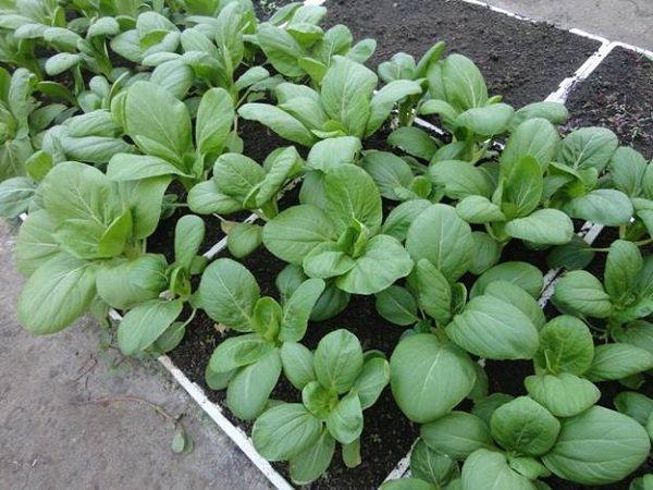 Mách bạn cách trồng rau cải đơn giản mà tươi tốt