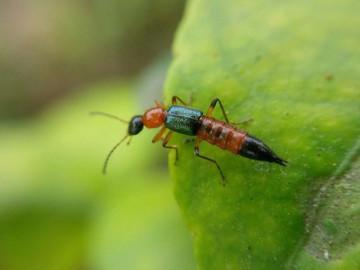 Độc tố kiến ba khoang độc hơn nọc rắn, cẩn thận xử lý kẻo rước hoạ vào thân